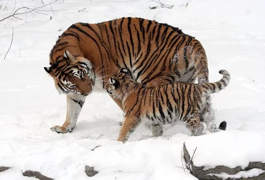 Siberian tiger Images Collection (Beautiful)